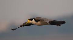 masked lapwing (Vanellus miles)-1294 (rawshorty) Tags: rawshorty birds canberra australia act lakeburleygriffin
