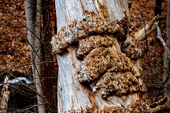 POTD 363-2019 (Webtraverser) Tags: 365picturesin2019 berkshires burls burr d7500 deadtree everydayphotographer inthewoods nikon pad2019363 pictureoftheday potd2019 project365 stateofdecay stillagoodtree pittsfield massachusetts unitedstatesofamerica