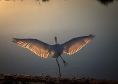 DSC_3339-2 (capt_tain Tom) Tags: heron whiteheron lesserheron marshbird marsh sunset sunsetonthemarsh reflection shorebird shorebirds waterbirds