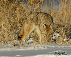 Eye see you! (dcstep) Tags: cherrycreekstatepark colorado coyote westerncoyote canine wildcanine hunting snow sonya9 fe600mmf4gmoss fe14xteleconverter thickcoat amber dxophotolab nature naturesanctuary natureurban wildlife wildlifesanctuary wildanimal fur tan dsc3627dxo