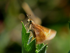 Can't sit still... Butterfly, perhaps an Umber skipper (Poanes melane), Hesperiidae, Alameda, CA, June 2019 (Judith B. Gandy (on and off, off and on)) Tags: poanesmelane umberskippers alameda butterflies california hesperiidae insects invertebrates lepidoptera skippers