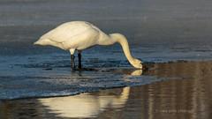 Thirsty Swan_Explore 12/31/2019 (maryanne.pfitz) Tags: trumpeterswan swan migrant bird waterfowl wildlife ice water drinking reflection saxzimbog stlouiscounty mn laterwinter earlyspring mapts1388 maryannepfitzinger