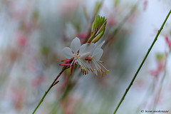 Wild Flowers (leendert3) Tags: leonmolenaar southafrica limpopoprovince haenertsburg wildflowers nature naturalhabitat ngc coth5