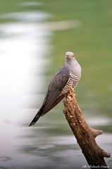 Cuculo _004 (Rolando CRINITI) Tags: cuculo uccelli uccello birds ornitologia avifauna santalbanostura natura