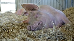 Heather, a content resident at Farm Animal Rescue, Dayboro, Queensland (David McKelvey) Tags: rescue animal farm dayboro queensland australia 2019 pig heather