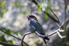 Dollar bird (richard.mcmanus.) Tags: dollarbird sydney australia bird richardmcmanus animal zoo