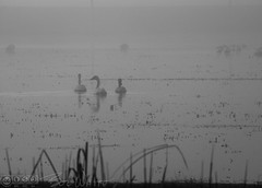 It was a foggy morning (Vurnman) Tags: california yubacounty mello fog ricefield flooded field geese grey water monochrome commute