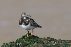 K32P6948c (Ruddy) Turnstone, Titchwell beach, September 2019 (bobchappell55) Tags: bird beach norfolk titchwell arenariainterpres wild nature rocks wildlife wader turnstone ruddy