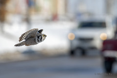 Going to the town (Michelle w.h. Xu) Tags: northernhawkowl south ontario northern hawk owl animal urban wildlife bird truck road logito