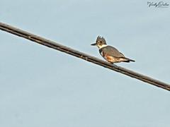 🇺🇸 Belted kingfisher EG 9303 (vickyoutenphoto) Tags: vickyouten beltedkingfisher kingfisher wildlife nature nikon nikond7200 nikkor55300mm evergladesnationalpark florida usa