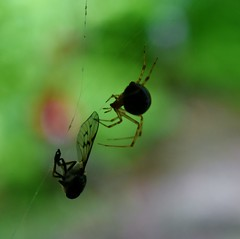 Said the Spider to the Fly (Explore) (Ike Walker) Tags: spiderandthefly spider fly nature prey wildlife ngysaex