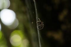 Araignée du plateau du Mapou (Nathan Quentin) Tags: spider reunion island ile de la réunion araignée mapou roche plate nez boeuf