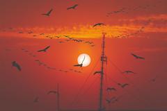birds (Greg M Rohan) Tags: d7200 nikon nikkor china sunset sky orange bird birds hongkong flying asia orangesky