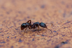 Ant (RoosterMan64) Tags: ant australia closeup insect macro nsw wildlife