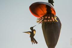 CUBA : Colibri d'Helen (Mellisuga helenae)     Zunzuncita pour les Cubains (francisaubry) Tags: colibri oiseau bird aves cuba hummingbird nikonflickraward