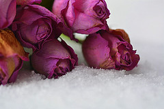 dry roses in the snow (Slávka K) Tags: rose flowers pink dry snow december 2019 macro color winter
