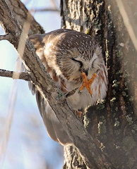 Petite Nyctale / Northern Saw-whet Owl (sysmik.yves) Tags: petitenyctale northernsawwhetowl chouette nyctale