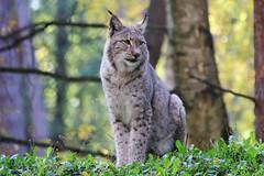 Lynx (Hugo von Schreck) Tags: hugovonschreck lynx luchs cat katze animal fantasticnature canoneos5dsr tamron28300mmf3563divcpzda010