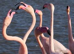 Prise de becs (Marc ALMECIJA) Tags: flamant rose flamingo flamenco oiseau outdoor outside oiseaux nature natur bird panasonic g9 100400 camargue
