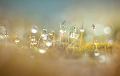 Moss water drops (Dhina A) Tags: sony a7rii ilce7rm2 a7r2 a7r kaleinar mc 100mm f28 kaleinar100mmf28 5n m42 nikonf russian ussr soviet 6blades manualfocus bokeh lens moss water drops droplets