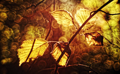 wild/leaves (sandro349) Tags: trioplan meyer goerlitz sony a7r manual focus nature colour bubble bokeh