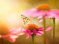 Summer impressions.... (pomian31) Tags: no people animals in the wild closeup focus on foreground animal themes plant freshness flower head insect butterfly nature beauty photography petal day fragility wildlife outdoors ngc