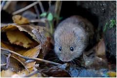 Vole. (Fen Photos) Tags: bcnwilldifetrust wildlifetrust mouse woodland cambridgeshire wildlife mammal