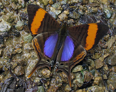 Marpesia corinna (hippobosca) Tags: butterfly ecuador nymphalidae marpesiacorinna macro insect lepidoptera