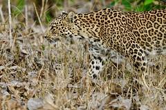 Leopard on the move at dawn (cirdantravels (Fons Buts)) Tags: coth5 sunrays5 ngc kabini nagarholetigerreserve indiawildlife nikond850 cirdantravels kabinibackwaters tigerreserve bigcatsafari indiasafari wildlifephotography naturalhabitat inthewild leopard luipaard léopard pantherapardus bigcat feline felidae felinae carnivore carnivora