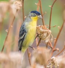 Golden Nature. (Omygodtom) Tags: wildlife goldfinch golden nature d7100 dof nikon70300mmvrlens usgs bird