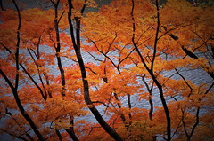 Yellow leaves on the lakeside (chikaraamano) Tags: yellowleaves lakeside forest autumn plateau nature outdoor japan