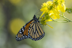 Butterfly 2019-191 (michaelramsdell1967) Tags: butterfly butterflies nature macro animal animals insect insects monarch monarchs bokeh yellow orange black beauty beautiful pretty lovely vivid vibrant detail delicate meadow wildlife upclose closeup bug bugs flowers flower fragile zen