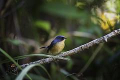 20191201-0I7A6061 (siddharthx) Tags: birds canon birdwatching 2019 canon7dmkii canon1dxmkii 1dxmkii breakthroughphotographyx4uv forest hide th goldenhour norththailand doiinthanon doiangkhang doilang dawntilldusk december2019 ef100400mmf4556lisiiusm cottoncarrierg3 promediageartr424lpmgprostix sachtlerfsb8t doisanju wild thailand wildlife wildbirds bestbirdshots bbcearth animalsultans bbofig birdbrilliance tamron150600mmf563divcusdg2 birdsadored bestbirdsplanet bestbirdsofworld natgeowild naturyst photopond featherperfection earthpix nutsaboutbirds featuredwildlife earthcapture kingsbirds birdscaptures eyespybirds birdsillife ipbirds birdsprivate nutsaboutwildlife discovery wildlifephotography wildplanet wildbirdtrust planetbirds wildlifeonearth yourbestbirds pocketbirds wildlifecentral flycatcher slatyblueflycatcher slatyblueflycatchermale