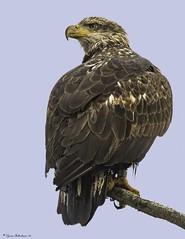 2I1A5095a (lfalterbauer) Tags: baldeagle nature wildlife photographer canon 7dmarkii outdoor ornithology avian raptor birdsofprey