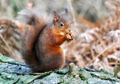 Red Squirrel (eric robb niven) Tags: ericrobbniven scotland dundee redsquirrel wildlife nature springwatch