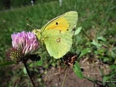 Butterfly 1913 (Colias croceus) (+1800000 views!) Tags: butterfly borboleta farfalla mariposa papillon schmetterling فراشة