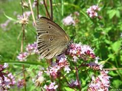 Butterfly 1914 (Aphantopus hyperantus) (+1800000 views!) Tags: butterfly borboleta farfalla mariposa papillon schmetterling فراشة