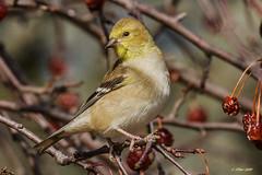 IMG_2522 american goldfinch (starc283) Tags: starc283 bird birding birds flickr flicker finch gold goldfinch nature naturesfinest naturewatcher natures
