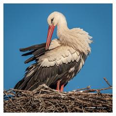 White stork (Ignacio Ferre) Tags: animal cigüeñablanca cigüeña ciconia ciconiaciconia stork whitestork ave bird pájaro naturaleza nature españa spain nikon nido nest