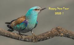 Happy New Year for all my Flickr Friends ! (Torok_Bea) Tags: európaiszalakóta szalakóta beautiful bird wonderful wild wildlife tamron150600 amazing awesome animal wildbird wildanimal coraciasgarrulus happy happynewyear happy2020 birs lovely