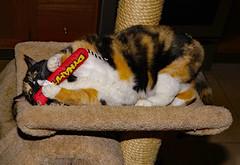 Gotcha! (dr.tspencer) Tags: amber tortoiseshellcat cat pet