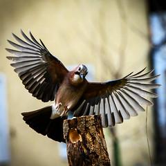 Eichelhäher im Anflug ! (robert.pechmann) Tags: eichelhäher clarrulusglandarius vogel robert pechmann anflug birds coth5