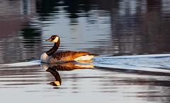 A Canada Goose (Hayseed52) Tags: goose canadagoose bird lake virginia mountainrunlake