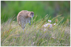 Curlew Scratch (www.andystuthridgenatureimages.co.uk) Tags: curlew wader large moor moorland grass marsh wetland peakdistrict derbyshire canon nationalpark bird preen clean preening scratching scratch