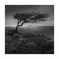Hail the King ! (Nick green2012) Tags: dartmoor tree blackandwhite square landscape silence minimal