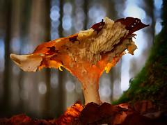 Wunder der Natur (Jens Schröter) Tags: deutschland de lumix panasonic wald natur mushroom macro makro pilz nahaufnahme fungi farbe farbig