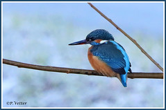 Martin-Pêcheur 191230-05 (paul.vetter) Tags: nature faune oiseau vogel bird martinpêcheur alcedoatthis commonkingfisher martínpescadorcomún guardarios eisvogel alcédinidé