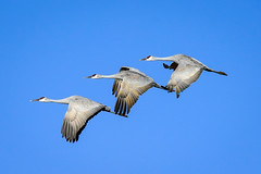Sandhill Cranes[Explored] (Bernie Duhamel) Tags: bosquedelapache newmexico sanantonio greatphotographers teamsony flying flight bernie duhamel sonya9 sonyfe100400mm sunshine sandhillcrane bird wildlife