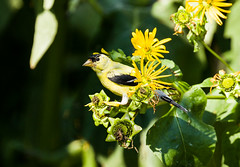 0P7A3576  American Goldfinch, Canada (ashahmtl) Tags: americangoldfinch bird finch songbird carduelistristis brighton ontario canada