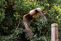 Black Kite takes Flight (armct) Tags: milvusmigrans blackkite raptor bird large soaring australian native indigenous launch takeoff translucent wingspan 15m oreillys queensland subtropical tropical